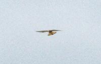 鳥の名前を教えてください2。 去年の6月に質問した鳥が、また飛んできました。 https://detail.chiebukuro.yahoo.co.jp/qa/question_detail/q10175545005  で、質問したところ 「ジュウイチ」 ではという結論に至ったのですが、 写真が不鮮明だったこともあり、 資料が多い方が、確証がえられるのでは、ということで、 再度、...