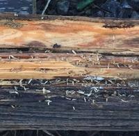 朽ちた木に白い虫がうようよいます。 小さい画像ですみません。 これはシロアリですか?