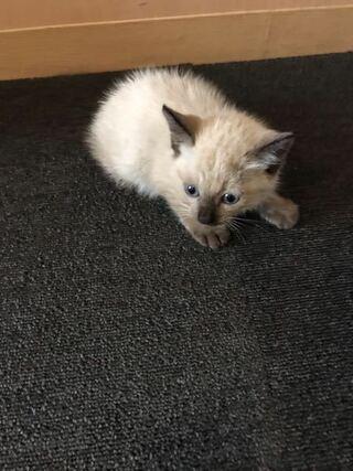 猫 子猫 シャム