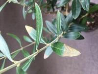 オリーブの木 葉っぱの先が茶色くなってます。 水やりは土が乾いてからやっていて日当たり良い室内に置いています。週何回かベランダで数時間日光浴もしてます。 葉先が枯れて茶色になる原因 は何でしょうか? またこれはカットした方がいいですか?