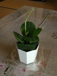 ポット苗の植物をもらいました。観葉植物らしいのですが名前は何ていうのか教えてください。