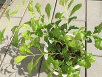 この鉢植えの植物の名前を教えてください。