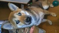 あなたの愛犬の名前の由来は何ですか?  私の愛犬の5ヶ月のメスの柴犬の名前は、カタカナのハナです。  もう亡くなってしまいましたが、メスの柴犬の雑種でした。  この犬は、頭がよくて 愛嬌があってみんなに可愛がられる存在でしたので、この愛犬にあやかるようにと、全く同じ名前をつけました。  お陰さまで、まだ多少甘噛みのクセが残っているものの、人懐っこいし、ムダ吠えしないし、トイレ...