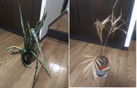 植物が弱っています。  この写真の植物はどのように面倒見てあげればよいのでしょうか? とりあえず、室内に置いて毎朝1回お水をそれぞれに150mlくらい与えてます。 両方とも名前もわかりません。  また引き...