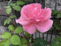 ご存知の方 このお花の名前、教えて頂けますか?
