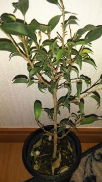 園芸屋さんで200円で購入した観葉植物?としか書かれてなかったこの植物ですが、名前がわからないので、育て方もわからなくて困ってます。 心なしか最近葉っぱが萎れて来てます。  どなたか名前と育て方を教えてくださると助かります。  名前だけでも助かります。