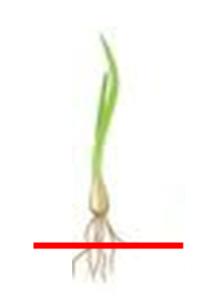 玉ねぎの苗の根を切って植えたら良いと本に書いてありました。 2~3センチの長さに切るとの事。  切って植えた方はいますか? 買った苗だと根に元気が無いように思いますが、 自分で育てた苗はすぐ植えるの...