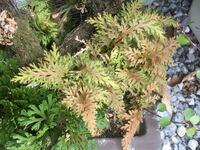 この植物はなんでしょうか? イワヒバの鉢に生えているのですが、別の質問でイワヒバとは違うのではというご指摘をいただきました。   こちらの写真です(左下にだけイワヒバが写り込んでいます)   枯れてしまう...