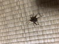 家の中に初めて見る虫がいたのですが、この虫はなんでしょうか? ピョンピョン跳ねてコオロギみたいです。
