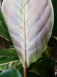 葉の裏の白い点について 観葉植物のカラテアを育てていますが、葉の裏に白い点が多数あります。 ハダニを疑いましたが、黒い虫は見つからず、白い点自体に足のような毛のようなものがついてい ます。 しかし動いていないようにみえます。 これは何でしょうか? 防止策はありますか?