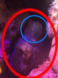 海水水槽立ち上げて3ヶ月、ライブロックとライブロックの間に謎の生物がいる事に気付きました。3cmくらいで赤丸の奴です。光等で刺激すると青丸の部分がイソギンチャクの口みたく開いたり閉じたりします。何なの...