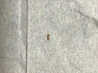 閲覧注意! よく家にこの虫の抜け殻みたいなのを見つけて気持ち悪いです。何の虫かわかる方教えてください。また対処法があれば教えて欲しいです。よろしくお願いします。大きさは3ミリほどととても小さいです。