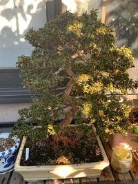 皐月の盆栽について質問です。 皐月盆栽を保有していますが、葉がやや萎れた感じとなってます。冬の時期だからでしょうか?しばらく部屋においていましたが、この影響もあるのでしょうか?  冬でも乾燥した風が当...