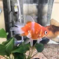 金魚の種類の事で質問させて下さいm(_ _)m金魚すくいの子なのですが、上から見ると尾びれが蝶々みたいで綺麗で、体も丸っこいのが気に入っています。これは何という種類なのでしょうか。前に飼 ってた琉金とも違...