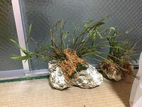 セッコクについてです。 セッコクを購入したのですが植え方がわかりません。 フウランを育てていてフウランは流木に付けているのですがセッコクの根は思ったより細く流木につけれなさそうだったので石に置いてい...