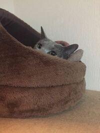 【週明けの猫大喜利】 。 。 ドタバタした1週間でしたが こいつに癒されてます。 。 。 じっぽに何て声をかけてやりましょうか? 。 。 じっぽ・♀・4歳・ロシアンブルー