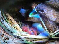 《育雛期のネクトンS、MSAの使い方について》 こんにちは。 昨年より飼い始めたヨーロッパ十姉妹のペアが産卵し、数日前雛が孵りました。  初めての巣引きだったので2羽だけでしたが、つがいで一生懸命餌を与え...