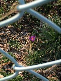 花の判別をお願いします。 先程、近所を散歩していると 一輪だけ写真に写っている花が咲いていたのですが これは何という花でしょうか? 球根のある花のようです。  ※フェンスの向こうにあったため、  接写したも...
