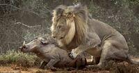 雄ライオンは、獲物を殺すときなどはまず前脚で全力で押さえ込み全体重を掛けて長い犬歯を獲物に突き刺してそのまま重点的に上下の犬歯の咬み合わせを強くして獲物の首の骨を折るか、窒息死を狙 うんですよね。こ...
