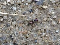 蟻の名前を知りたいです。 庭でキラキラ光る蟻を見つけたのですが、調べてみても種類が分かりません。 普通の蟻が陽に当たってキラキラして見えるのかそうゆう種類なのか教えてほしいです。