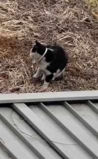 これってエリザベスカラーですか?首輪ですか? うちの庭によく来る猫です。 他の家の飼い猫ちゃんか、野良なのか、観察してますが分かりません。 特にこの首につけてるのが、見慣れず… 母は最近のオシャレな...