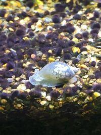 熱帯魚の水槽にこの貝が見つかりました。名前がわかるかた教えて下さい。