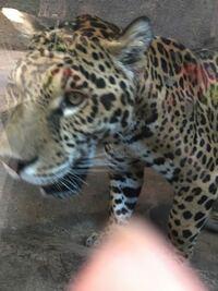ジャガーってトラやライオンより噛む力強いと思いますか? ワニの頭蓋骨も噛み砕くと聞きますが、 実際に動物園でジャガー見たらかなり頭が大きくてゴツかったので、アゴの力は相当に強い気がします。