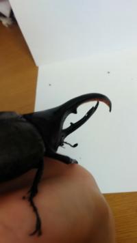 ヘラクレスの幼虫体重から推定できる成虫体長の表みたいなのを作ってください。 例えばこんなかんじで オス メス 50g=60mm 40g=55mm 60g=80mm 50g=60mm 70g=100mm 55g=63mm 80g=110mm  100mm=130mm   みたいな感...