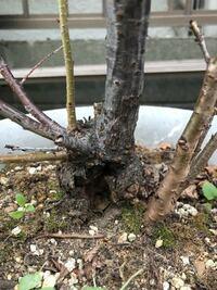 これは癌腫でしょうか? 河津桜です。  10年ぐらい前に河津で買いました。 毎年花を咲かせていました。 去年の12月頃?木が枯れて、幹の根元にリスが住みそうな穴があき、見たらゲジゲジのような大きい虫が4匹ぐらい住みついていました。 急いで取り除きました。 でも、根元の脇から数本新しい芽?が出て、今では枝になっています。  この根元のコブのようなものは癌腫でしょうか? 新しくできた枝達は花は咲...