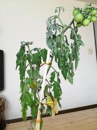 トマトの葉がしおれてしまいました  以前買った水耕栽培キットでトマトを育てていたのですが、最近葉がこのように萎れててしまいました… トマトも大きくならず、小さいままです。 色々検索 しましたが、葉の裏が変色していたり虫がいたりする感じはなさそうです。 ただ下の方の葉が黄色くなり枯れやすいのと、上の方の葉に白い粉のような斑があります。  冬から育てていたので寿命?とかもあるかもし...