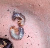 庭を掘っていたら写真の生き物がたくさん出てきたのですが、何の幼虫でしょうか? ガーデニング イモムシ カブトムシ 芋虫 昆虫 害虫