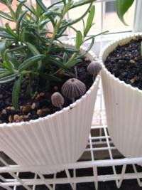 ローズマリーの苗を鉢植えして2週間。 周りにきのこみたいな芽が生えてきました。 これはなんでしょうか? 抜いた方がよいですか?