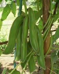 ムクナ豆の栽培にお詳しい方へお伺いをいたします。 ・ ムクナ前は温かい地域でないと栽培は難しいのでしょうか。 ・ いかがでしょうか。