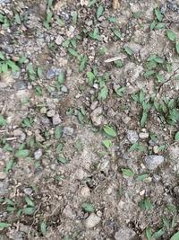 庭全体に生えてきました。 この雑草が何かわかる方いらっしゃいますか?