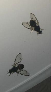 少し見にくいですが、この虫の名前はなんですか? お尻の部分はくろと黄色のシマシマで体長は1.2cmほどです。家の天井に集まってとまっています。