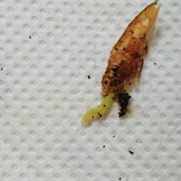 至急!キンモクセイの害虫駆除を教えて下さい。 数日間家を離れており、帰宅すると育て初めて1年目の大事なキンモクセイの新芽が食い荒らされております。 犯人はこの虫です。糸を出して葉っぱが丸まっているので...