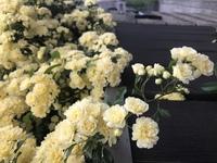 この花は木香薔薇でしょうか? 今日撮影した写真です。 場所は埼玉県です。