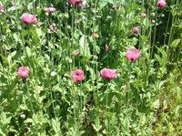 違法なケシの花でしょうか? 近所の空き地に咲いていました。