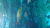 須磨海浜水族園の大水槽にいた魚なのですが、この魚の名前が記載されていなかったのですが、分かるかたいらっしゃいますか? よろしくお願い致します。