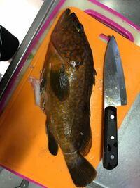 急いでます! この魚をいただいたのですが、キジハタで間違い無いですか。 毒とか持っていませんか?刺身で食べて大丈夫ですか?