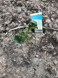 家庭菜園でブロッコリーを植えました。タネ植えから一ヶ月経ちました。成長も遅いような気もしますが、葉に白い点が気になります。病気でしょうか?