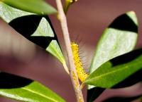 この毛虫は蛾の幼虫でしょうか?  毒はありますか?