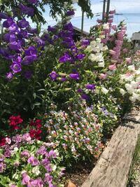 花に詳しい方、お願いします‼︎ 近所に咲いている花なのですが、 この少し背丈の高い紫、白、ピンクの花は何という花なのでしょうか?  よく見る花何ですがいまいち名前が分からず仕舞いなのが歯がゆいです…