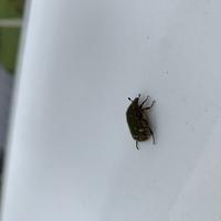 虫画像貼り付けて失礼いたします…。。この虫はオリーブアナアキゾウムシでしょうか?家にオリーブが植えてあり枯らされダメになった木もありましたが、虫自体を一度も発見した事がなく、先程ベ ランダについてい...