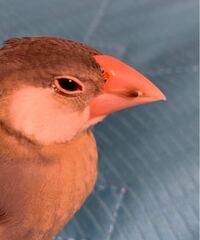 生後約1ヶ月半くらいの桜文鳥を飼っているのですが、気がつくと鼻の周りに黒い点のようなものが出来ていました。 換羽期でくちばしの黒いのはとれるのかなと思っていますが分からず質問しました。 分かる方回答よ...
