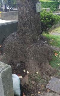 クスノキの根がものすごく盛り上がっているのを見たのですがどういう状態なのでしょうか? 近くに生えてる他のクスノキは ハ みたいな形で普通です。 何か病気なのでしょうか?