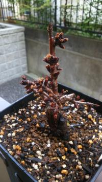 一才桜の盆栽について。 今年の1月頃に、つぼみのついてる一才桜の盆栽を購入したのですが、つぼみのまま咲くことがなく現在に至ります…。  気温が高くなれば自然に咲くとのことで、ずっと外に出して日光に当てていました。 (あまり日当たりがよくないため、朝昼少ししか当たってないと思います。) お水もこまめに与えていたつもりです。 お店の方は花が咲くまでは、室内でもOKと言っていたので、日当たりが悪い...