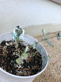 鉢に植えたユーカリが、元気がなくなってしまいました。 植えて2週間位経ちます。観葉植物・花全般に使える土を買ってきて、ポットから鉢に植え替えました。  乾燥を好むと聞いたので、水は1週間に1回位の間隔で...