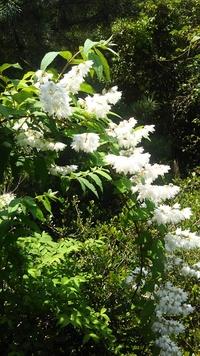 白い花が今たわわです。この植物の名前はなんというのでしょう?