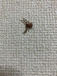 こいつは何クモでしょうか?有識者の方回答よろしくお願いします。